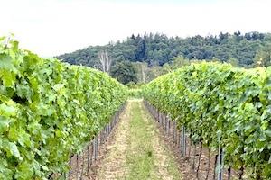 The Pfalz vineyard